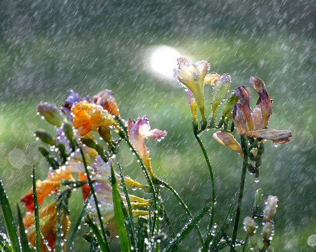 freesia in the spring rain by John Morgan @ Flickr Creative Commons