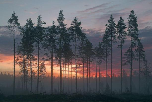 morning-picture-with-harmonious-pines-by-archimond1