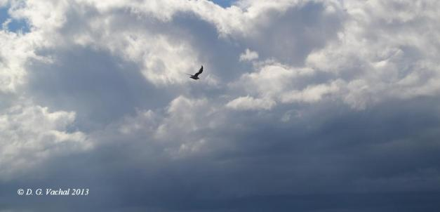 Dove in Flight by DG Vachal