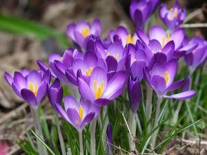 Crocus Playtime - Lord V@flickr